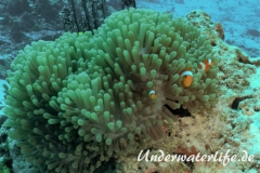 Falscher Clownfisch_adult-Thailand-2017-001