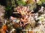 Feines Korallenmoos (Jania rubenus) Mittelmeer