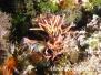 Mittelmeer Rotalgen-Rhodophyceae-red algae