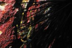 Percnon gibbesi_adult-Karibik-2014-005