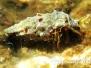 Felsküsten-Einsiedlerkrebs (Clibanarius erythropus)