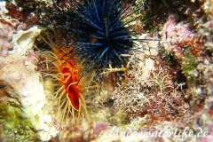 Flammenmuschel_adult-Karibik-2014-009