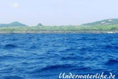 Fliegender Fisch_adult-Karibik-2014-03
