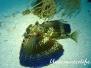 Karibik Fische-Pisces-fish