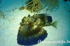 Flughahn_adult-Karibik-2014-01