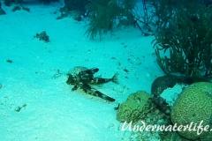 Flughahn_adult-Karibik-2014-03