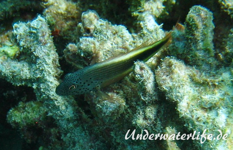 Forsters-Bueschelbarsch_adult-Malediven-2013-01
