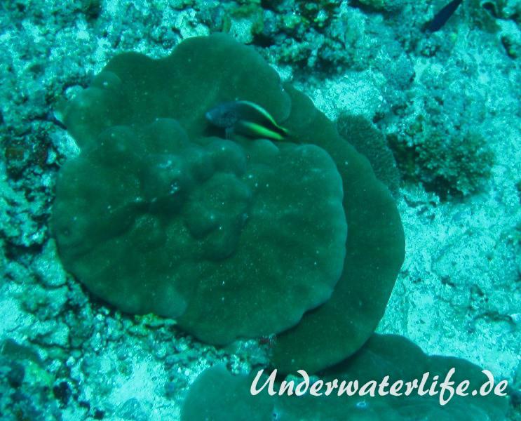 Forsters-Bueschelbarsch_adult-Malediven-2013-02