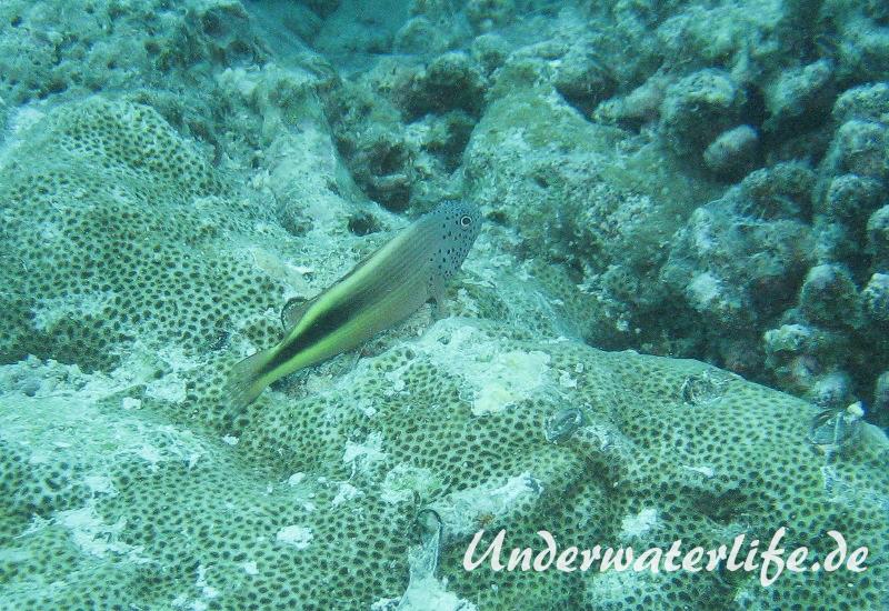 Forsters-Bueschelbarsch_adult-Malediven-2013-05