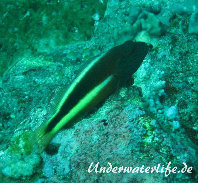 Forsters-Bueschelbarsch_adult-Malediven-2013-07
