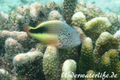Forsters-Bueschelbarsch_adult-Malediven-2013-03