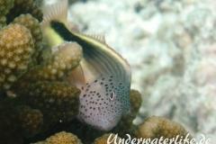 Forsters-Bueschelbarsch_adult-Malediven-2013-04