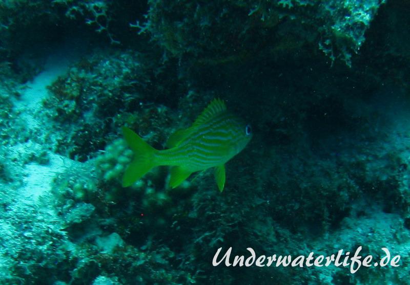 Franzosen-Grunzer_adult-Karibik-2014-008