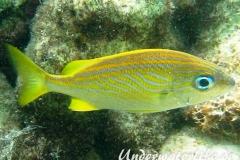 Franzosen-Grunzer_adult-Karibik-2014-001