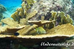 Franzosen-Grunzer_adult-Karibik-2014-003