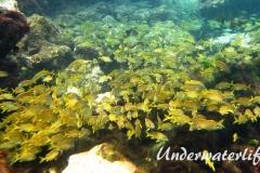 Franzosen-Grunzer_adult-Karibik-2014-005