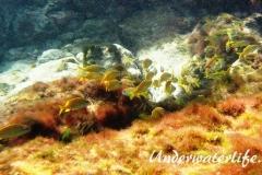 Franzosen-Grunzer_adult-Karibik-2014-006