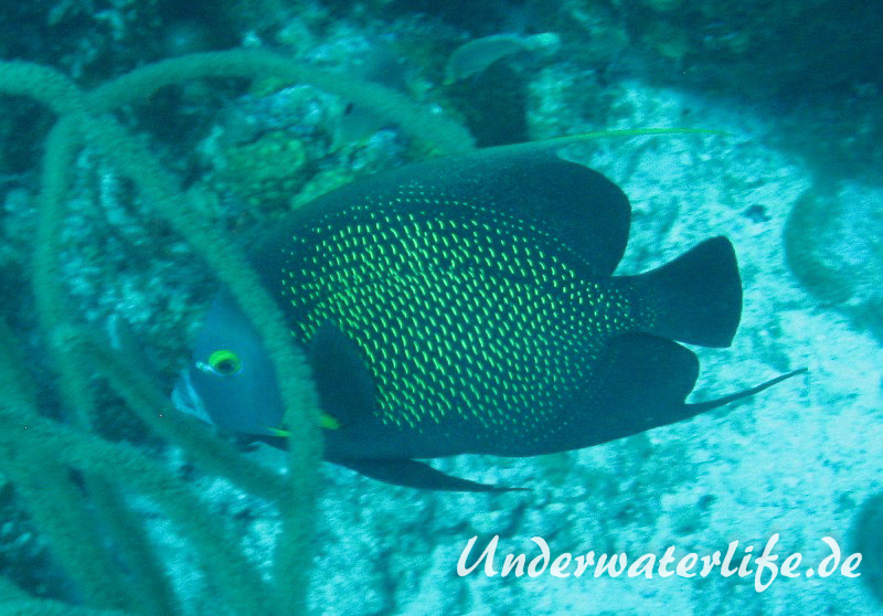 Franzosen-Kaiserfisch_adult-Karibik-2014-01