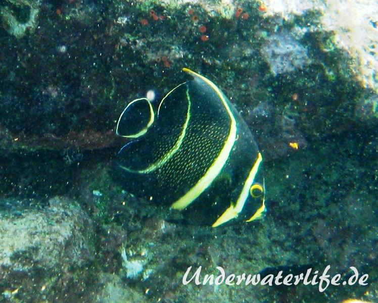 Franzosen-Kaiserfisch_adult-Karibik-2014-02