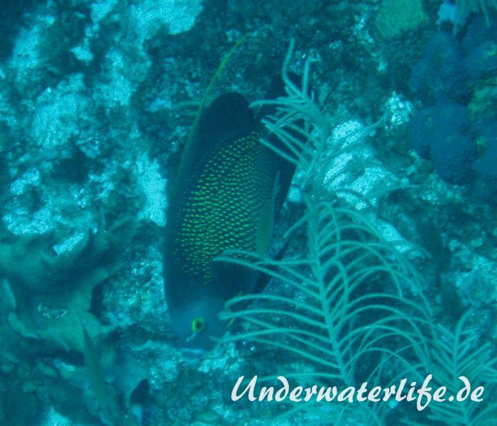 Franzosen-Kaiserfisch_adult-Karibik-2014-04