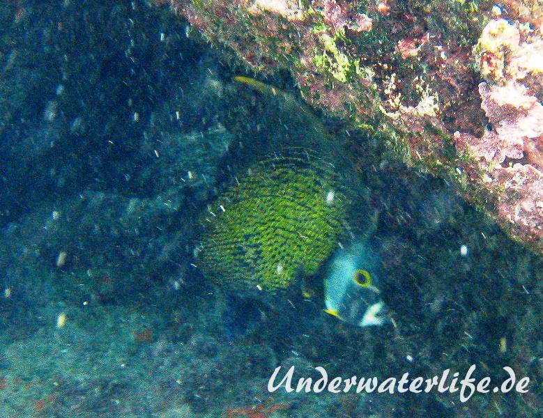 Franzosen-Kaiserfisch_adult-Karibik-2014-05