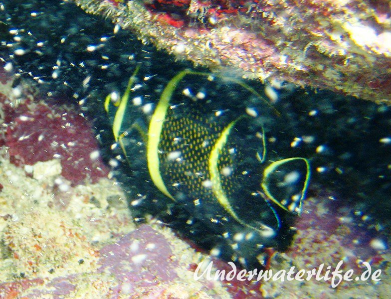 Franzosen-Kaiserfisch_adult-Karibik-2014-10