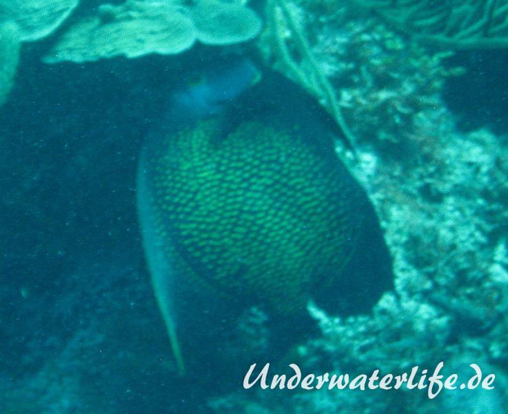 Franzosen-Kaiserfisch_adult-Karibik-2014-11