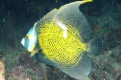 Franzosen-Kaiserfisch_adult-Karibik-2014-03