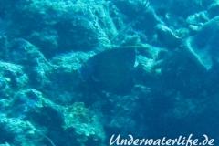 Franzosen-Kaiserfisch_adult-Karibik-2014-06