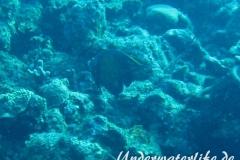Franzosen-Kaiserfisch_adult-Karibik-2014-07