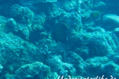 Franzosen-Kaiserfisch_adult-Karibik-2014-08