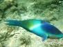 Fünfsattel-Papageifisch (Scarus scaber)