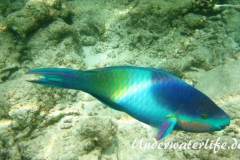 Fuenfsattel-Papageifisch_adult-Malediven-2013-01