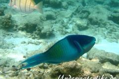 Fuenfsattel-Papageifisch_adult-Malediven-2013-02