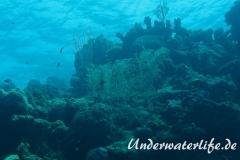 Gabel-Federgorgonie_adult-Karibik-2014-002