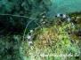 Gebänderte Scherengarnele (Stenopus hispidus) Indik