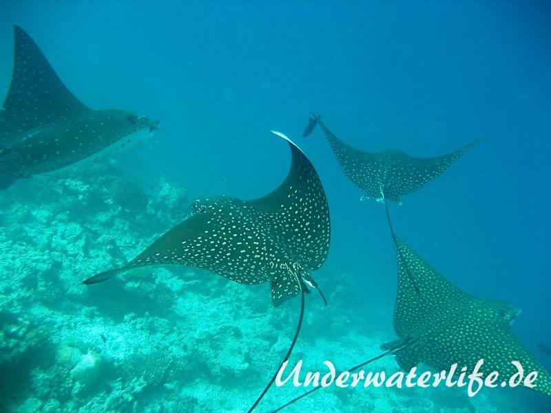 Gefleckter-Adlerrochen_adult-Malediven-2013-01