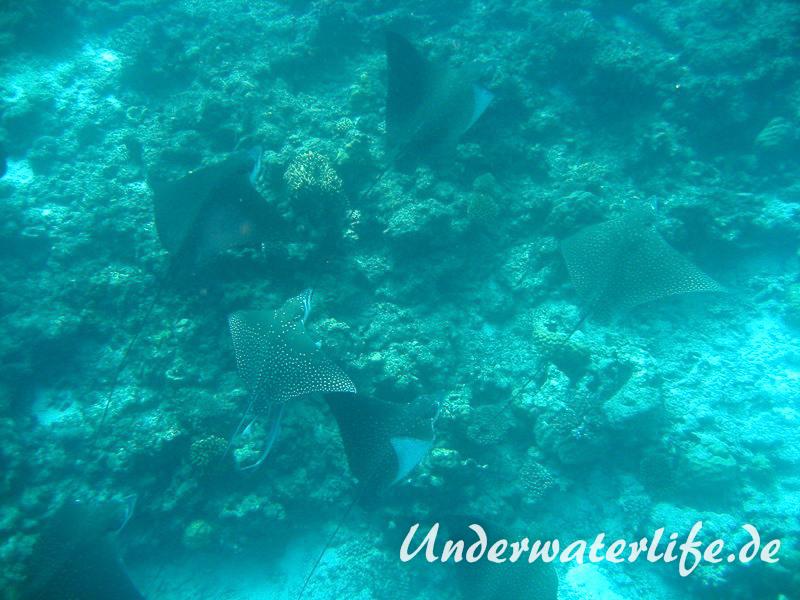 Gefleckter-Adlerrochen_adult-Malediven-2013-06