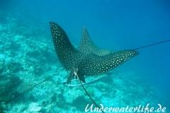 Gefleckter-Adlerrochen_adult-Malediven-2013-02