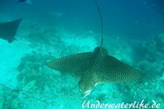 Gefleckter-Adlerrochen_adult-Malediven-2013-03