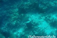 Gefleckter-Adlerrochen_adult-Malediven-2013-05