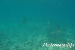 Gefleckter-Adlerrochen_adult-Malediven-2013-08