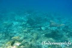 Gefleckter-Adlerrochen_adult-Malediven-2013-09