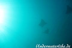Gefleckter-Adlerrochen_adult-Malediven-2013-10
