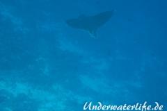 Gefleckter-Adlerrochen_adult-Malediven-2013-11