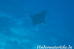 Gefleckter-Adlerrochen_adult-Malediven-2013-12