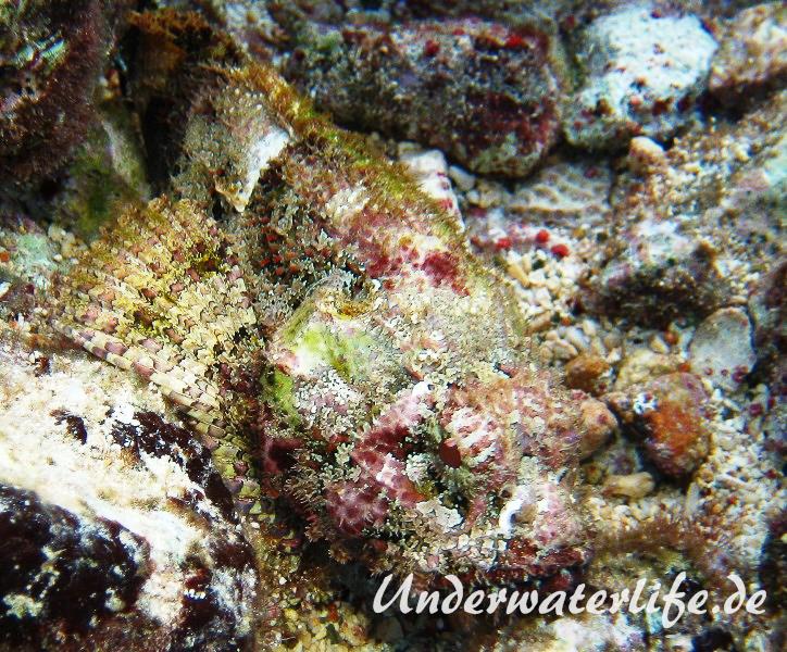 Gefleckter Skorpionsfisch_adult-Karibik-2014-01