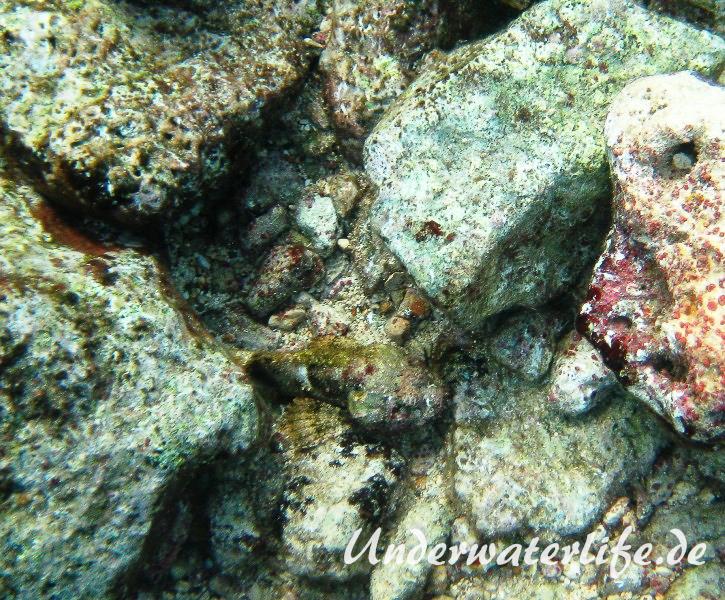 Gefleckter Skorpionsfisch_adult-Karibik-2014-04
