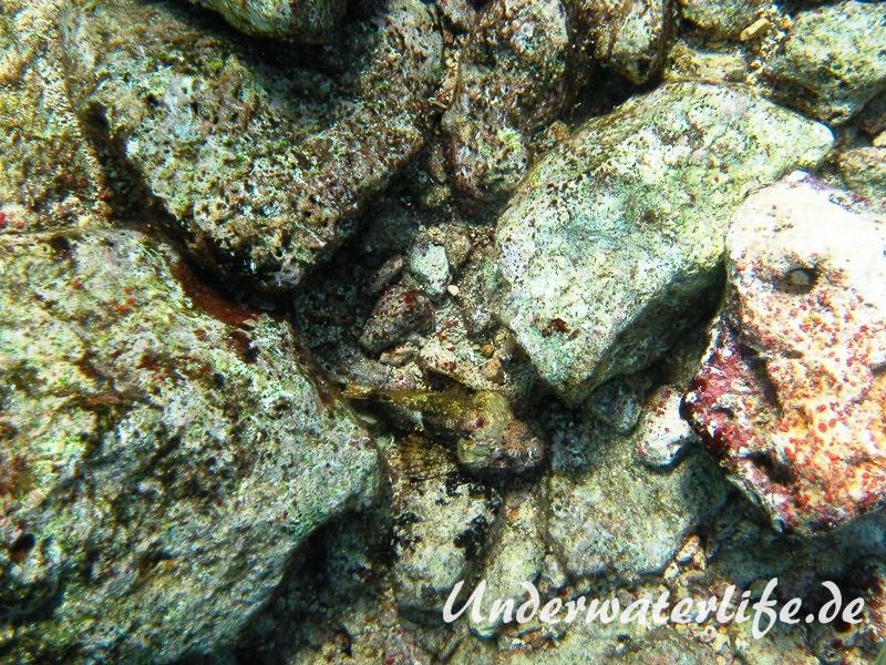 Gefleckter Skorpionsfisch_adult-Karibik-2014-05