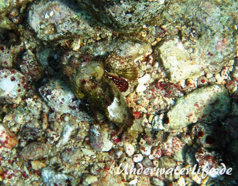 Gefleckter Skorpionsfisch_adult-Karibik-2014-08